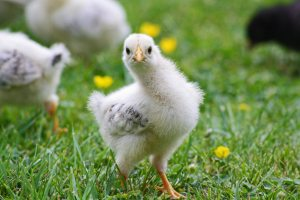 agriculture-animal-baby-286580