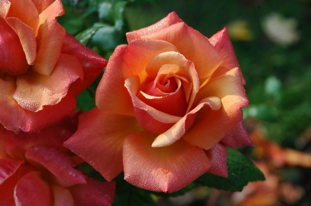 roses-194490_1920