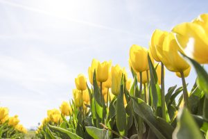 yellow-tulip-flower-field-during-daytime-159406